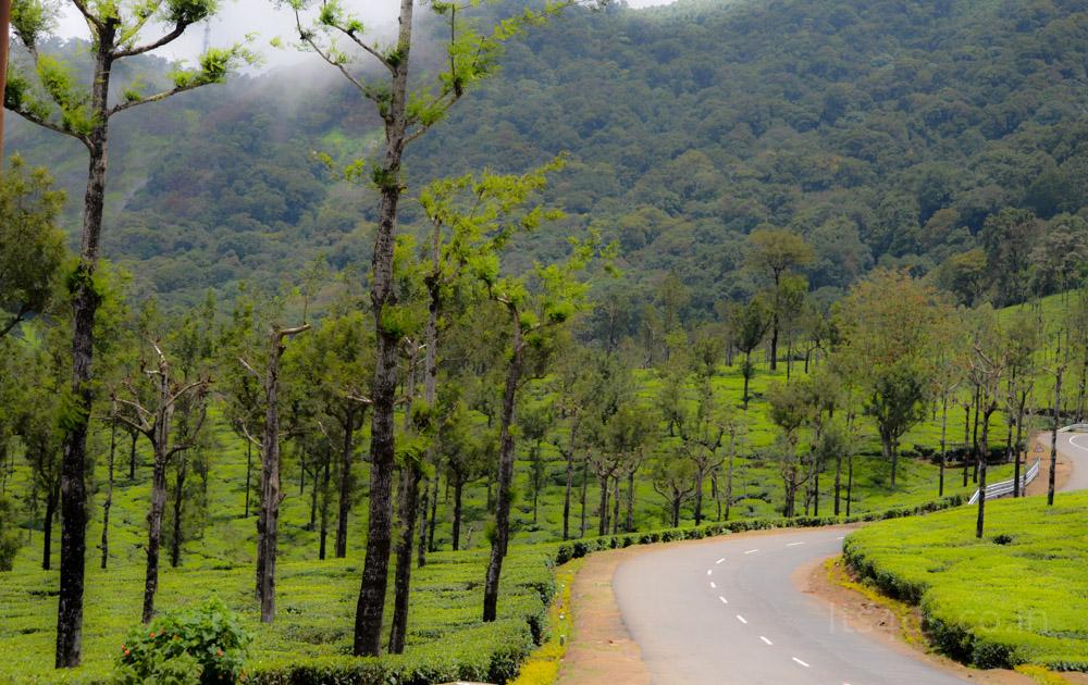 Lovely road passing through tea fields